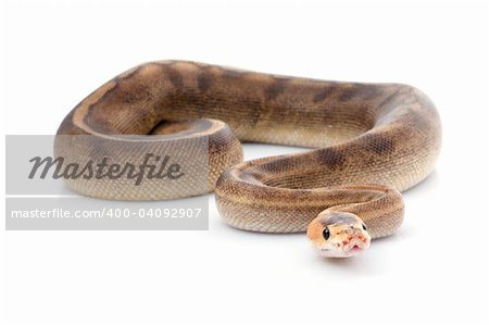 Champagne Ball Python against white background. Stock Photo - Budget Royalty-Free, Image code: 400-04092907
