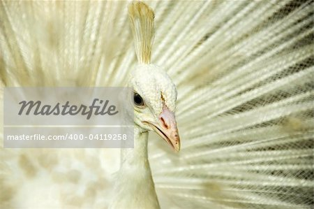 White peacock. Origin from India and Sri Lanka. Stock Photo - Budget Royalty-Free, Image code: 400-04119258