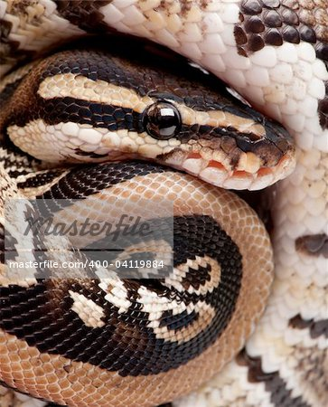 Close up on a Young Python regius (10 months old) in front of a white background Stock Photo - Budget Royalty-Free, Image code: 400-04119884