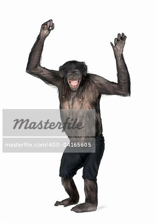 Portrait of smiling chimpanzee in shorts with arms raised against white background, studio shot. (Mixed-Breed between Chimpanzee and Bonobo) (20 years old) Stock Photo - Budget Royalty-Free, Image code: 400-04165605