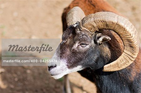 Headshot of a Big Horned Ram - with lot of copy space Stock Photo - Budget Royalty-Free, Image code: 400-04255474