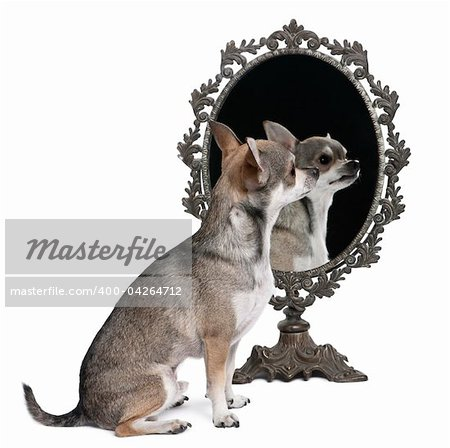 Chihuahua with mirror sitting in front of white background