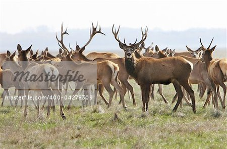 whitetail deer on a meadow. Ascania-Nova. Ukraine Stock Photo - Budget Royalty-Free, Image code: 400-04278309