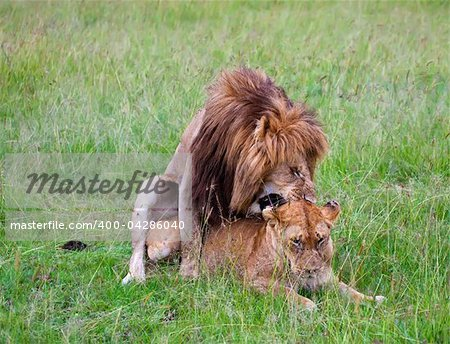 two lions mating during the love season in masai mara, kenya Stock Photo - Budget Royalty-Free, Image code: 400-04286040