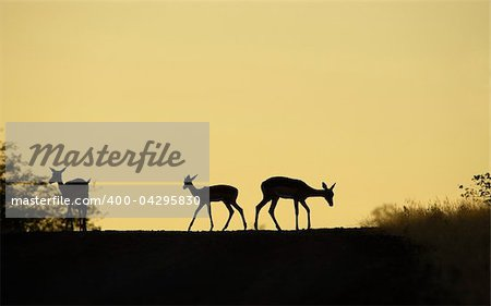 Group of red impala (Aepyceros melampus) standing on the road in the nature reserve at sunset in South Africa Stock Photo - Budget Royalty-Free, Image code: 400-04295830