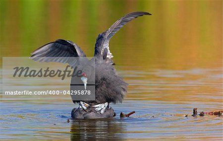 Two Red-knobbed Coot or Crested Coot (Fulica cristata) mating in water, South Africa Stock Photo - Budget Royalty-Free, Image code: 400-04295878