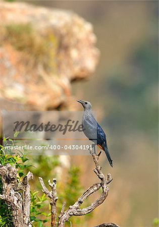 Red-winged Starling (Onychognathus morio) sitting on a branch of a tree in nature reserve in South Africa