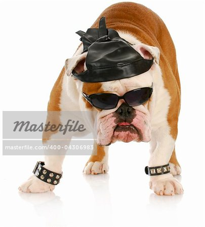 english bulldog dressed up like a tough biker with leather skull cap on white background Stock Photo - Budget Royalty-Free, Image code: 400-04306983