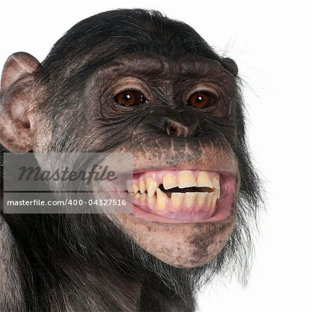 Close-up of Mixed-Breed monkey between Chimpanzee and Bonobo smiling, 8 years old Stock Photo - Budget Royalty-Free, Image code: 400-04327516