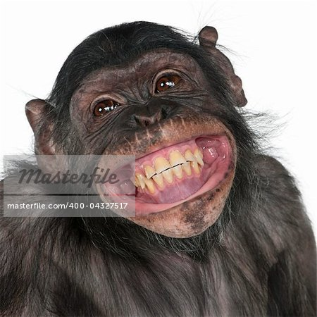 Close-up of Mixed-Breed monkey between Chimpanzee and Bonobo smiling, 8 years old Stock Photo - Budget Royalty-Free, Image code: 400-04327517