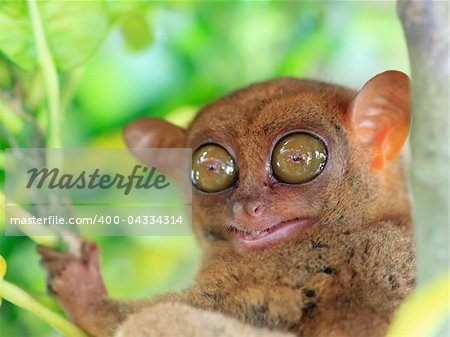 Funny Philippine tarsier (Tarsius syrichta). Bohol. Philippines Stock Photo - Budget Royalty-Free, Image code: 400-04334314