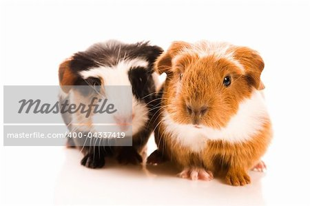 baby guinea pigs Stock Photo - Budget Royalty-Free, Image code: 400-04337419