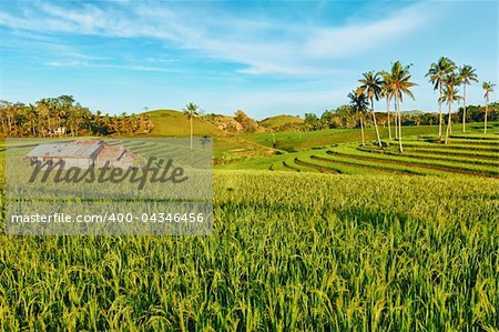 Paddy rice field at day time. Bohol. Philippines Stock Photo - Budget Royalty-Free, Image code: 400-04346456