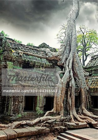 Jungle tree covering the stones of the  temple of Ta Prohm in Angkor Wat (Siem Reap, Cambodia)