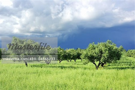 Olives tree on green field at Portugal.