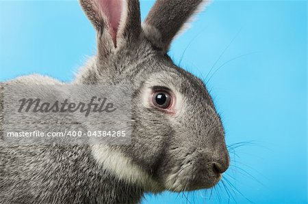 Image of head of cute grey rabbit over blue background