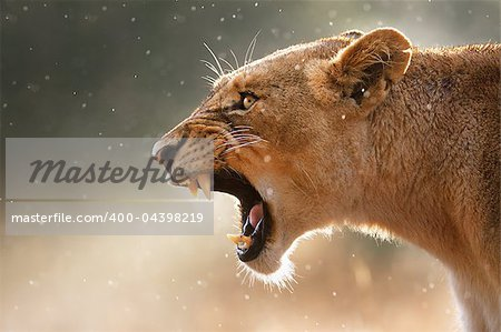 Lioness displays dangerous teeth during light rainstorm  - Kruger National Park - South Africa Stock Photo - Budget Royalty-Free, Image code: 400-04398219