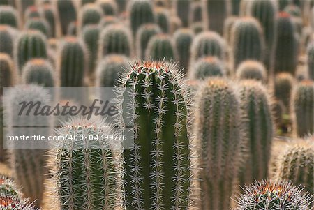 Farm producing a wealth of different cactus species Stock Photo - Budget Royalty-Free, Image code: 400-04399776