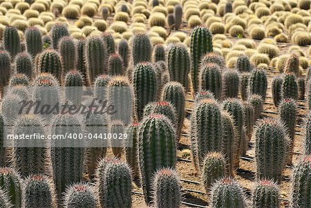 Industrial cactus farming, cardon and barrel cacti Stock Photo - Budget Royalty-Free, Image code: 400-04410029