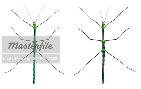 Myronides Sp, stick insects, in front of white background Stock Photo - Budget Royalty-Free, Image code: 400-04412255