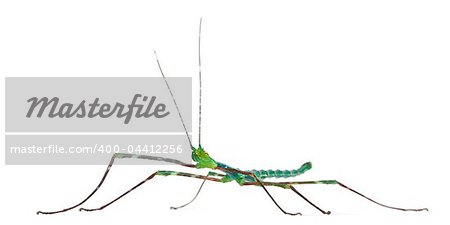 Myronides Sp, stick insect, in front of white background Stock Photo - Budget Royalty-Free, Image code: 400-04412256