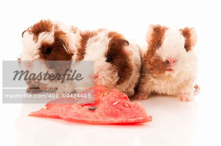 baby guinea pig Stock Photo - Budget Royalty-Free, Image code: 400-04424409