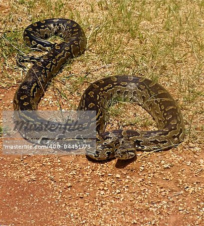 Rock python, keeping warm in the sun, Pythonidae family, wildlife series Stock Photo - Budget Royalty-Free, Image code: 400-04451773