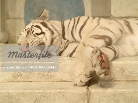 White tiger lying down Stock Photo - Budget Royalty-Free, Image code: 400-04454445