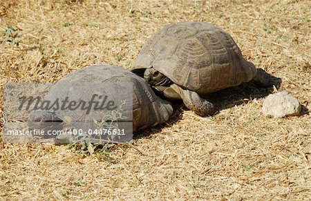 Couple of turtles making love in the centre of Athens, Greece Stock Photo - Budget Royalty-Free, Image code: 400-04476611