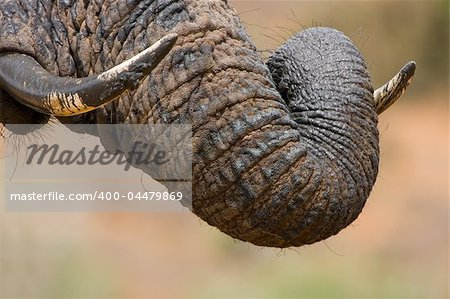 Muddy elephant trunk curled over its tusk