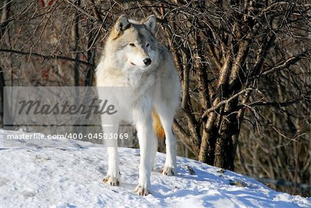 Picture of a Gray Wolf in it's natural Winter habitat Stock Photo - Budget Royalty-Free, Image code: 400-04503069