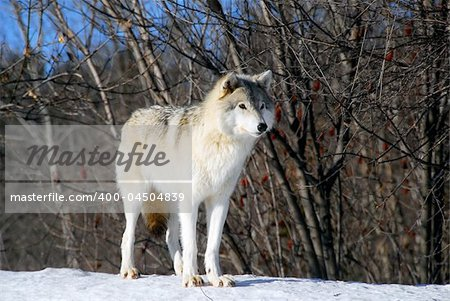 Picture of a Gray Wolf in it's natural Winter habitat Stock Photo - Budget Royalty-Free, Image code: 400-04504839