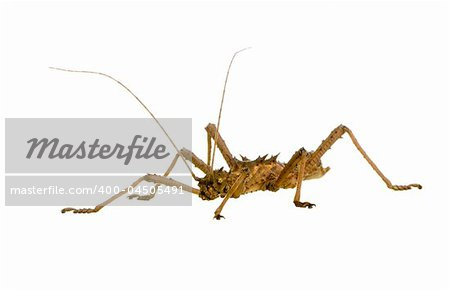 stick insect, Phasmatodea - Aretaon Asperrimus in front of a white backgroung Stock Photo - Budget Royalty-Free, Image code: 400-04505491