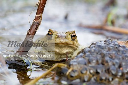 Frog besides a heep of spawn Stock Photo - Budget Royalty-Free, Image code: 400-04510057