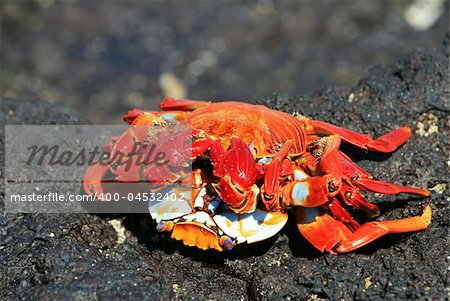 Two crabs mate on the Galapagos Islands, Ecuador Stock Photo - Budget Royalty-Free, Image code: 400-04532402