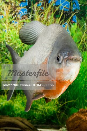 Large Paku fish in the aquarium Stock Photo - Budget Royalty-Free, Image code: 400-04552055