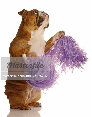 english bulldog holding cheerleading pompoms isolated on white background Stock Photo - Budget Royalty-Free, Image code: 400-04575786