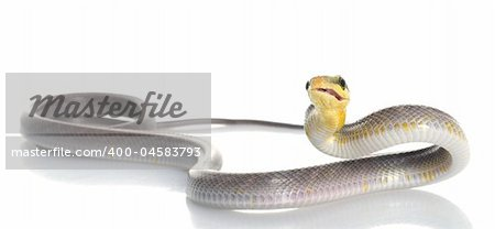 Silver phase Red-tailed Rat Snake making a funny face. Stock Photo - Budget Royalty-Free, Image code: 400-04583793