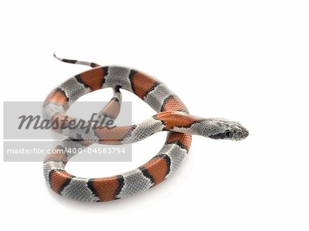 Gray Banded Snake in a pretzel shape. Stock Photo - Budget Royalty-Free, Image code: 400-04583794