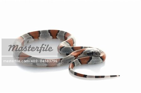Gray Banded Snake against a white background. Stock Photo - Budget Royalty-Free, Image code: 400-04583796