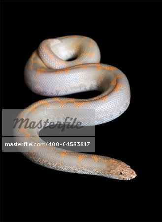 Albino Kenyan Sand Boa (male) against black background. Stock Photo - Budget Royalty-Free, Image code: 400-04583817