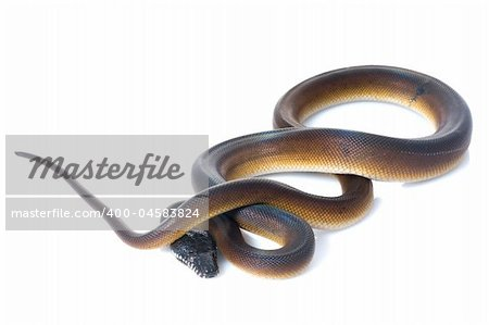 White Lipped Python against white background. Stock Photo - Budget Royalty-Free, Image code: 400-04583824