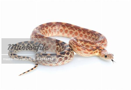 Cape Gopher Snake (Pituophis catenifer vertibralis) against a white background. Stock Photo - Budget Royalty-Free, Image code: 400-04583839