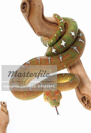 Emerald Tree Boa (female) on a branch against a white background. Stock Photo - Budget Royalty-Free, Image code: 400-04583845