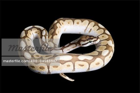 Albino Spider Ball Python against black background. Stock Photo - Budget Royalty-Free, Image code: 400-04583947