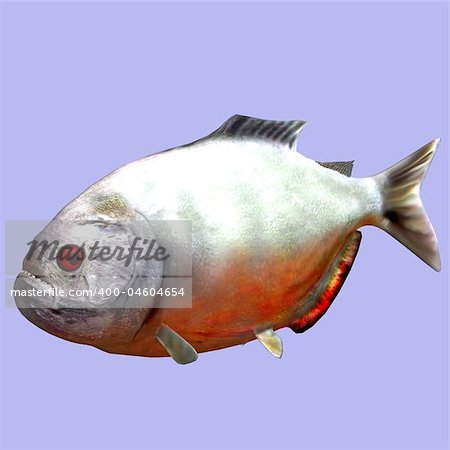 Piranha fish in water With Clipping Path Stock Photo - Budget Royalty-Free, Image code: 400-04604654