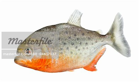 Piranha - Serrasalmus nattereri in front of a white background Stock Photo - Budget Royalty-Free, Image code: 400-04617037