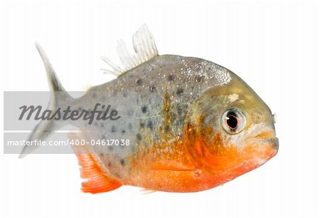 Piranha - Serrasalmus nattereri in front of a white background Stock Photo - Budget Royalty-Free, Image code: 400-04617038