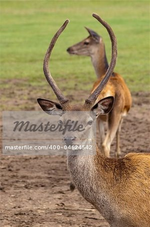 red deer buck framing its mate with his antlers Stock Photo - Budget Royalty-Free, Image code: 400-04624542