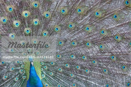 A peacock showing off his colors Stock Photo - Budget Royalty-Free, Image code: 400-04624680